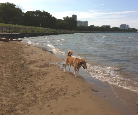 Montrose Harbor Dog Beach - Libby