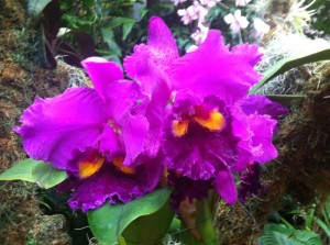 Orchid from the Missouri Botanical Garden